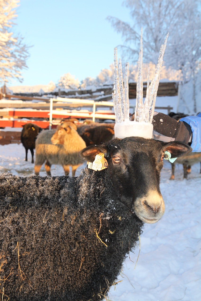 ice crown sheep